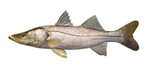 Common Snook