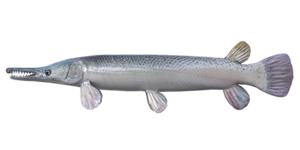 Alligator_Gar
